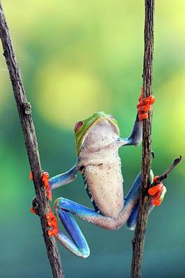 Central American Wildlife Photograph - Red-eyed Tree Frog by Nicolas Reusens