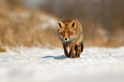 Red Fox In The Snow Print by Roeselien Raimond