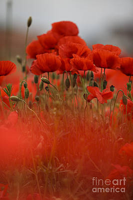 Poppy Photograph - Red by Nailia Schwarz