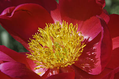 Red Peony Flower Print by Keith Webber Jr