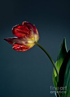 Single Digital Art - Red Tulip by Nailia Schwarz