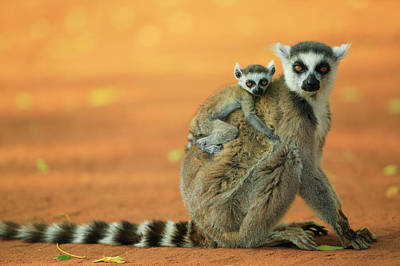 Ring-tail Lemur Photograph - Ring-tailed Lemur Mother And Baby by Cyril Ruoso