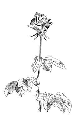Simplicity Drawing - Rose by Masha Batkova