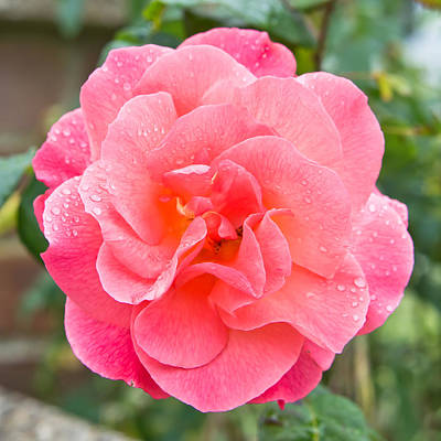 Rose Print by Tom Gowanlock
