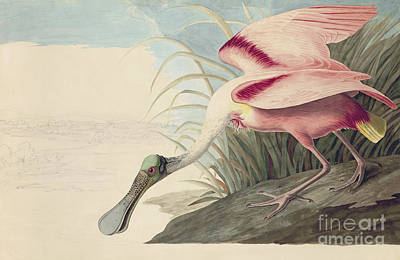 Heron Drawing - Roseate Spoonbill  by Celestial Images