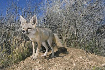 San Joaquin Kit Fox Carrizo Plain Print by Kevin Schafer