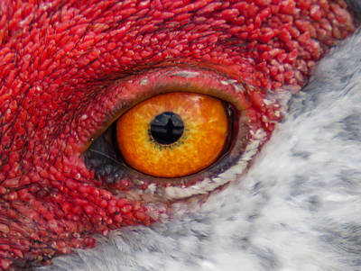 Abstract Art Photograph - Sandhill Crane Eye by Zina Stromberg
