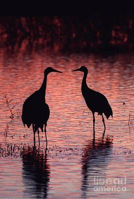 Photograph - Sandhill Cranes by Steven Ralser