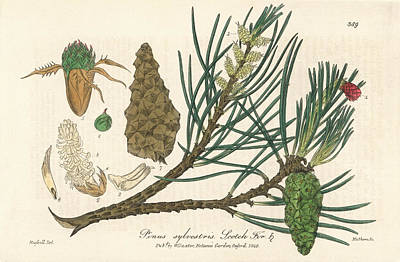 Scots Pine Print by Florilegius/natural History Museum, London
