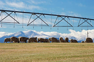 Fort Collins Photograph - Sheep Grazing Under An Irrigation Boom by Jim West