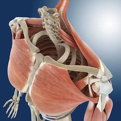 Shoulder And Chest Anatomy Print by Springer Medizin