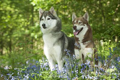 Siberian Huskies Print by John Daniels