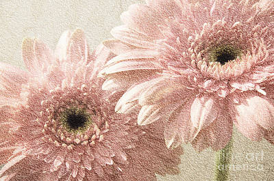 Photograph - 2 Silver Pink Painterly Gerber Daisies by Andee Design