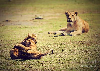 Cat Photograph - Small Lion Cubs Playing. Tanzania by Michal Bednarek