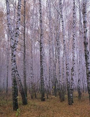 Birch Bark Photograph - Spasskoye Lutovinovo by Anonymous