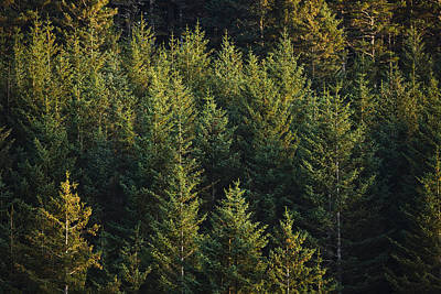 Spruce Tree Forest In Autumn, Kodiak Print by Kevin Smith