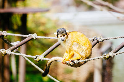 Squirrel Monkey Print by Pati Photography