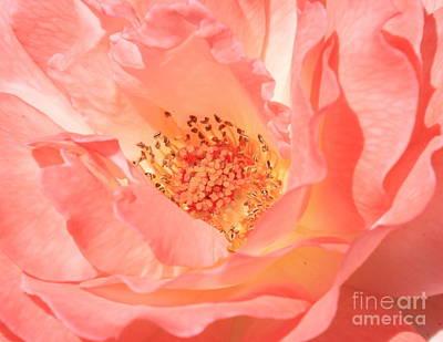 Stockton Rose Print by Carol Groenen