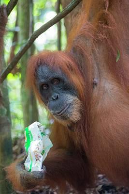Sumatra Photograph - Sumatran Orangutan by Scubazoo