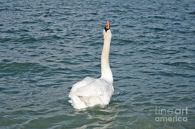 Odon Photograph - Swans On Balaton Lake In Sunny Day by Odon Czintos