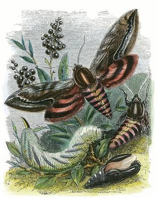 The Butterfly Vivarium Print by English School