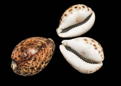 Serrated Photograph - Tiger Cowrie by Natural History Museum, London