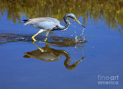 Tricolored Heron Print by Louise Heusinkveld