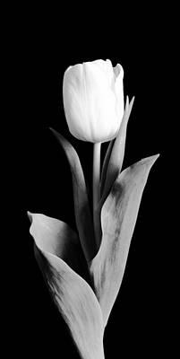 White Flower Photograph - Tulip by Sebastian Musial