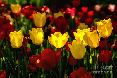 Tulips From Istanbul Print by Merthan Kortan