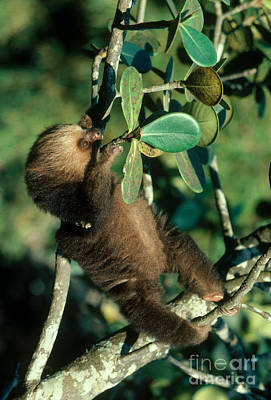Two-toed Sloth Print by Gregory G. Dimijian, M.D.