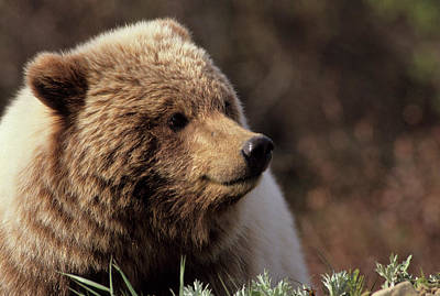 Large Mammals Photograph - Usa, Alaska, Grizzly Bear, Denali by Gerry Reynolds