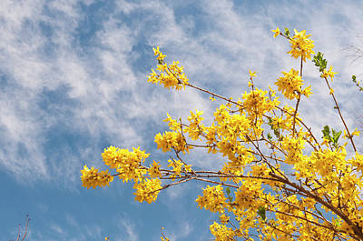 Forsythia Photograph - Usa, Co, Denver Denver Botanic Gardens by Trish Drury