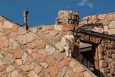Mountain Goat Photograph - Usa, Colorado, Mt by Jaynes Gallery