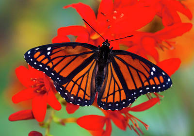 Crocosmia Photograph - Viceroy Butterfly A Mimic by Darrell Gulin