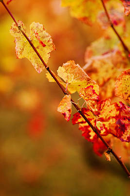 Midi Photograph - Vineyard In Autumn, Gaillac, Tarn by Panoramic Images