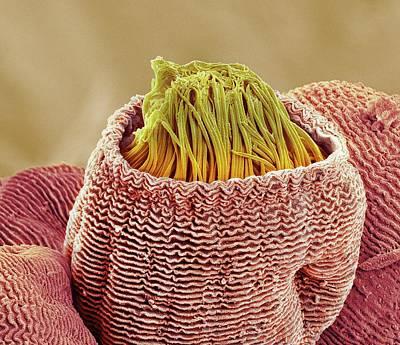 Vorticella Protozoan Print by Steve Gschmeissner