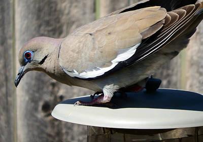 Dove Digital Art - White-winged Dove by David G Paul
