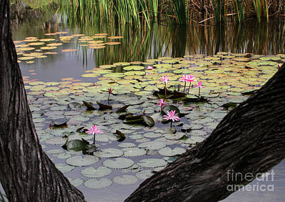 Wild Water Lilies In The River Print by Sabrina L Ryan