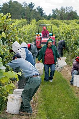 Pinot Photograph - Wine Grape Harvest by Jim West