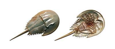 Horseshoe Crab Photograph - Xiphosura by Mikkel Juul Jensen