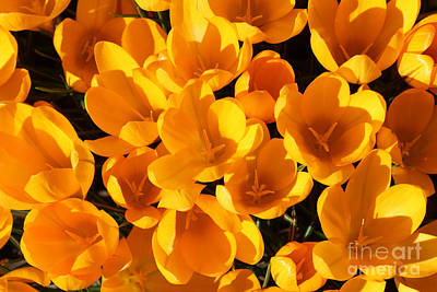 Flower Photograph - Yellow Crocus Flowers In Sunlight by Kerstin Ivarsson