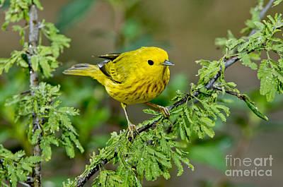 Yellow Warbler Print by Anthony Mercieca