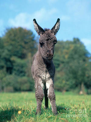 Young Donkey Print by Hans Reinhard