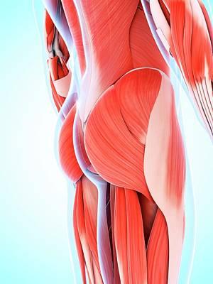 Buttocks Photograph - Human Muscular System by Sebastian Kaulitzki