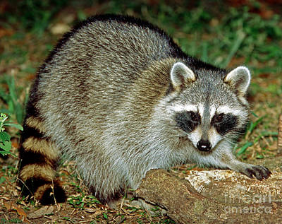 Raccoon Print by Millard H. Sharp