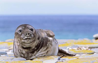 Proboscis Photograph - Southern Elephant Seal (mirounga Leonina by Martin Zwick