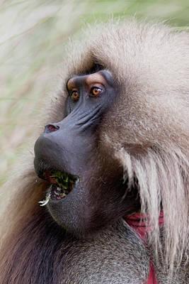 Baboon Photograph - Gelada, Gelada Baboon (theropithecus by Martin Zwick