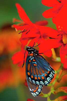 Crocosmia Photograph - Red-spotted Purple Butterfly, Limenitis by Darrell Gulin