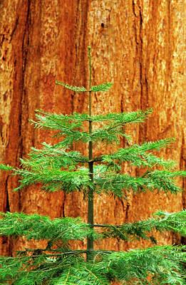 California Redwood Photograph - Usa, California, Yosemite National Park by Jaynes Gallery