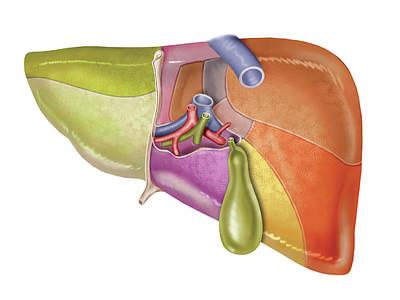 Liver Photograph - The Liver by Asklepios Medical Atlas